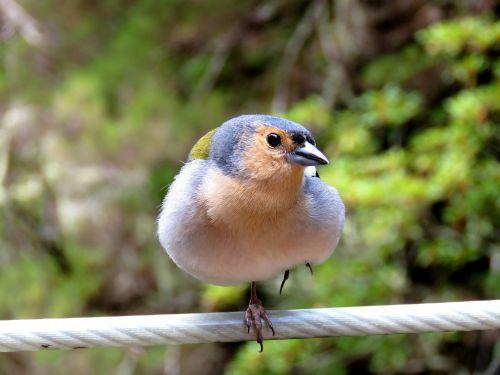 bird chaffinch nature