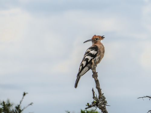 bird hoopoe branch
