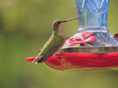 bird hummingbird emerald