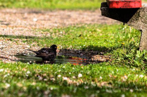 bird thrush blackbirds