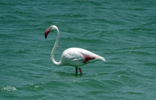 bird greater flamingo phoenicopterus roseus