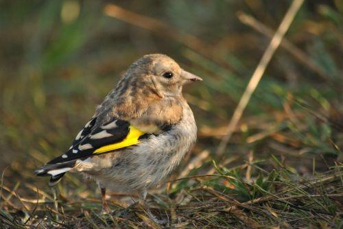 bird ptenec goldfinch