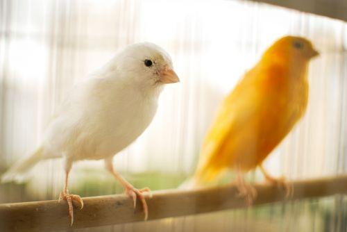 bird canary canary yellow