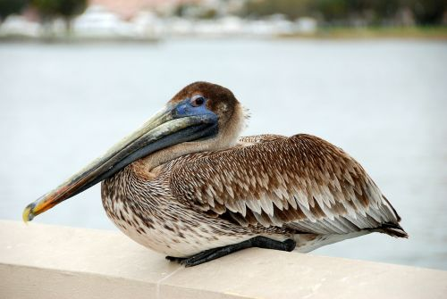 bird pelican water bird