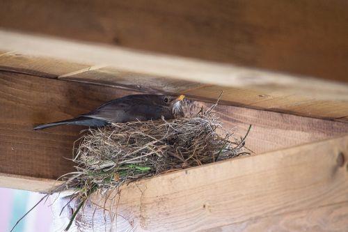 bird nest blackbird