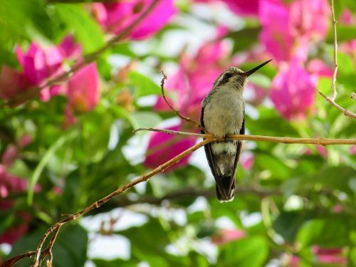 bird hummingbirds nature