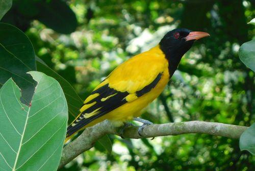 bird oriole beauty