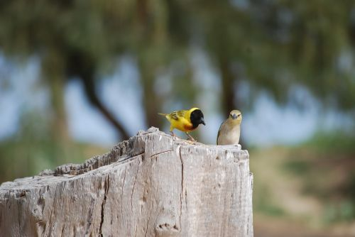 bird senegal sparrow