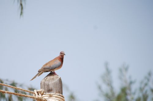 bird senegal pigeon