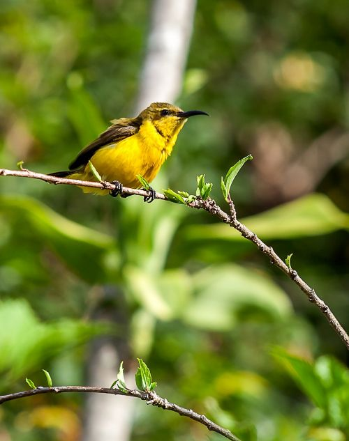 bird olive-backed sunbird tropical birds