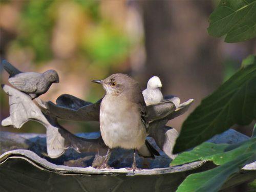 bird mockingbird songbird