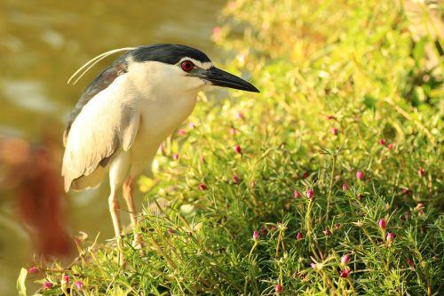 bird bali heron