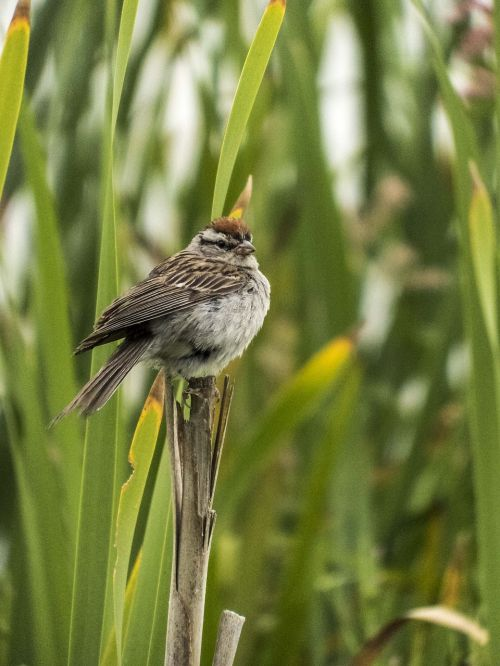 paukštis,Cattail,ruda