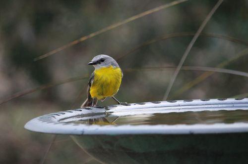 bird robin nature