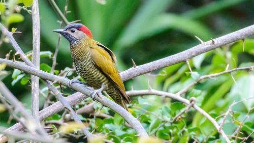 paukštis,gamta,laukinė gamta,gyvūnas,tropinė costa rica,dzenis