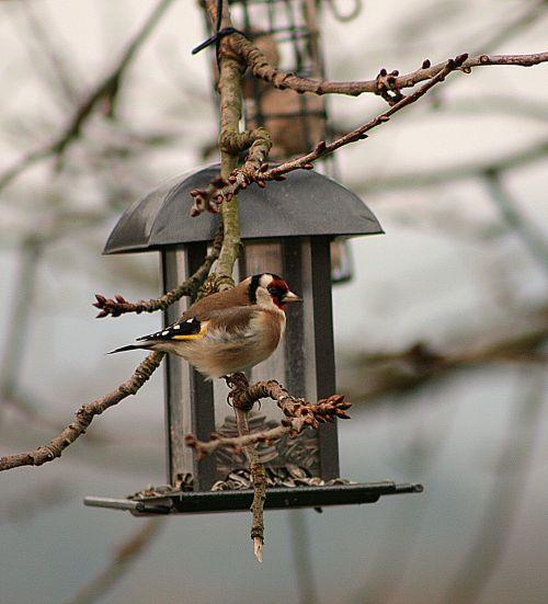 bird animal world goldfinch