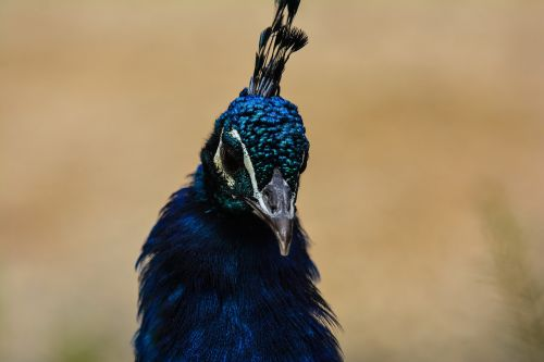 bird,feather,animal world,nature,animal,peacock,bill,wing,poultry,neck,comb,bright,zoo