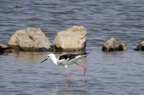 bird black-winged stilt common stilt