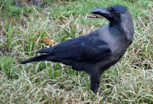 bird indian house crow corvus splendens
