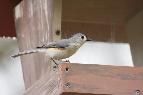 bird outdoors tufted titmouse