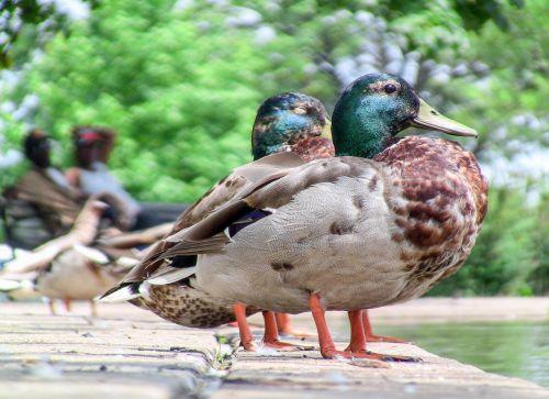paukštis, gamta, laukinė gamta, gyvūnas, lauke, antis, be honoraro mokesčio