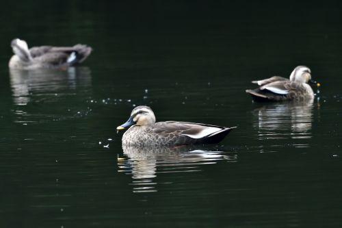 bird duck lake