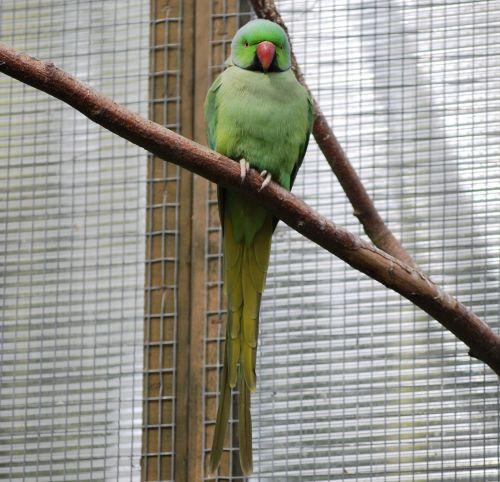 bird parrot parakeet