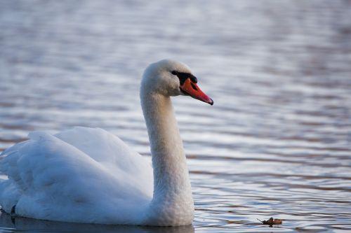 bird swan waters