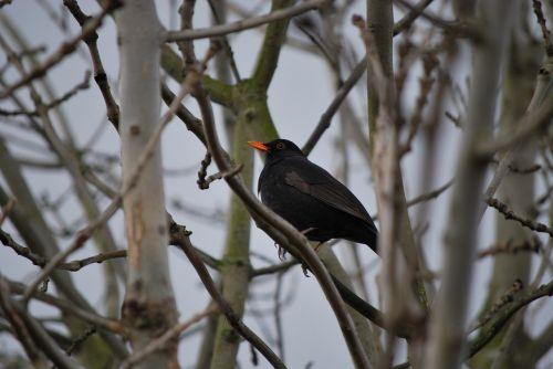 paukštis, medis, gamta, lauke, laukinė gamta, aplinka, iš šono, filialas, mediena, bendras juodasis paukštis, juoda paukštis, paukštis, oranžinis snapas, juoda, ruduo, žiema, natūralus, ruda, be honoraro mokesčio