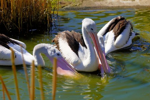 bird waters pelikan