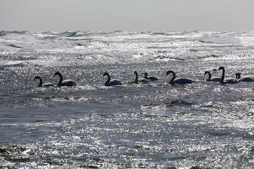 bird  swan  sea