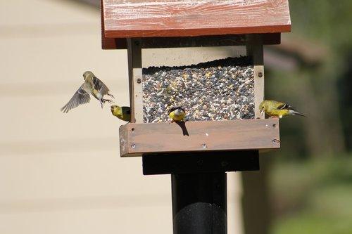 bird  bird feeder  gold finch