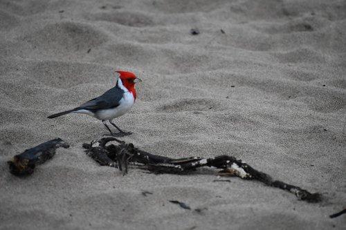 bird  red-crested cardinal  hanalei bay