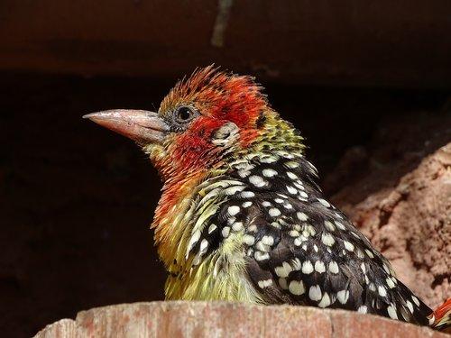 bird  colored  birds