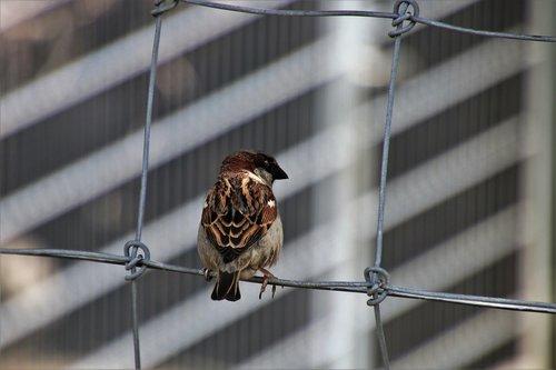 bird  the sparrow  nature