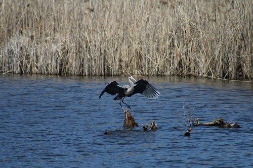 bird  landing  wings