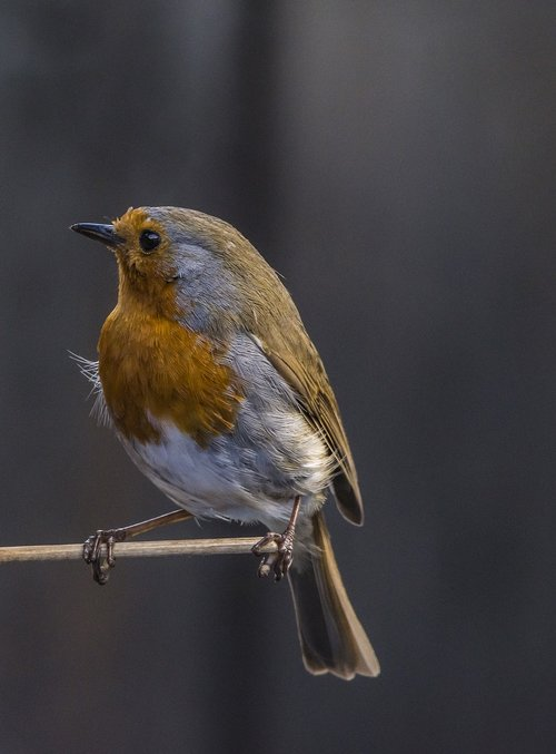 bird  robin  wildlife
