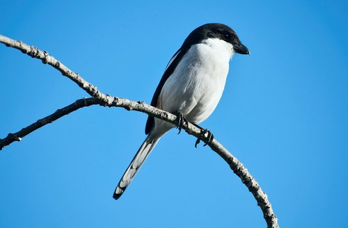 bird  avian  fiscal shrike