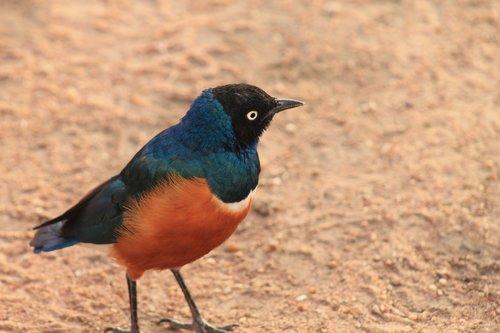 bird  serengeti park  tanzania