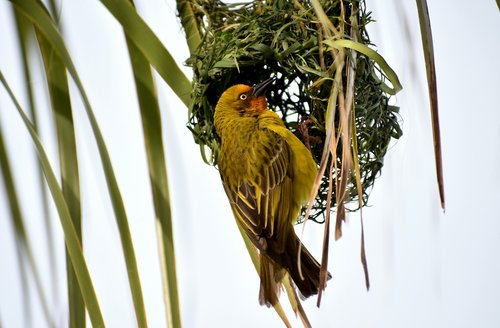 bird  avian  masked weaver
