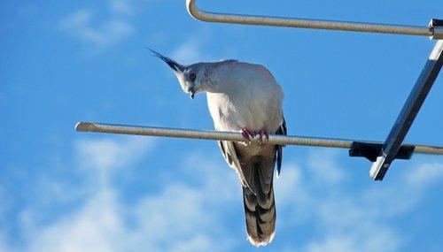 bird  pigeon  antenna