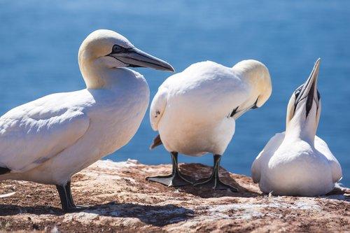 bird  northern gannet  nature