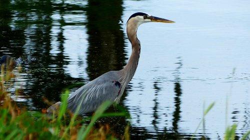 bird  fisherman  nature bayou
