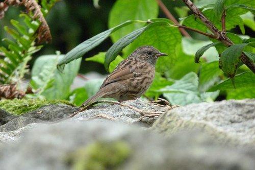 bird  dunnock  brown