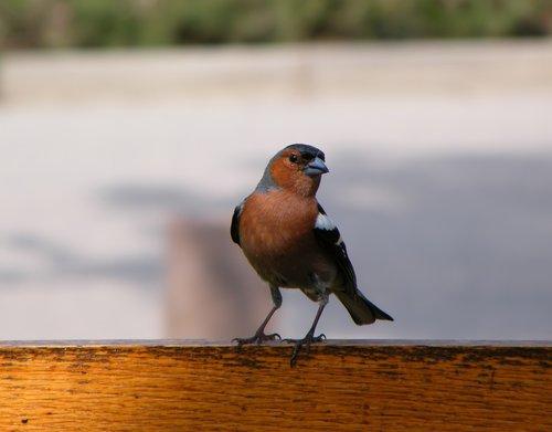 bird  common  chaffinch