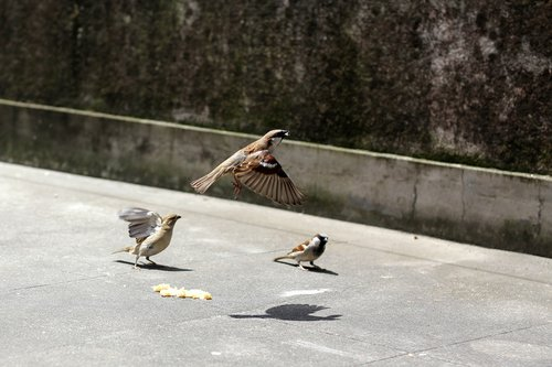 bird  flight  sparrows