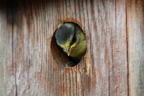 bird  nesting box  tit