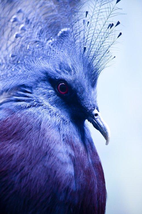 bird  dove  goura