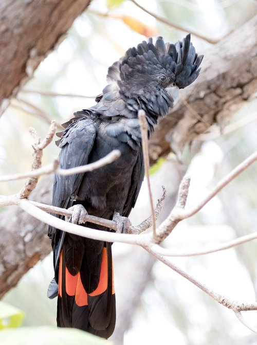 bird  cockatoo  wildlife