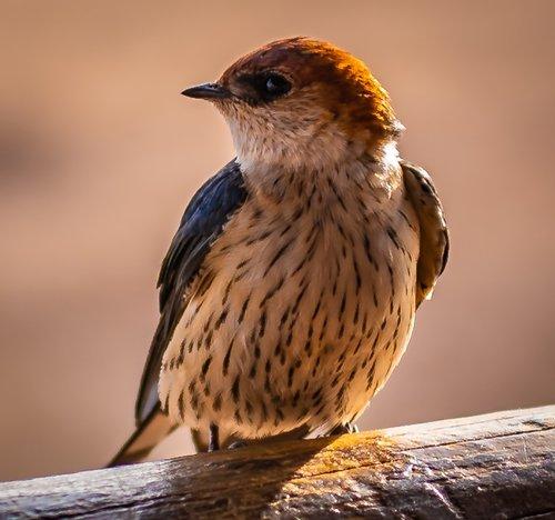 bird  schwalbe  close up